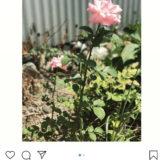 本日の撮影〜母の命日で、ピンクの薔薇〜